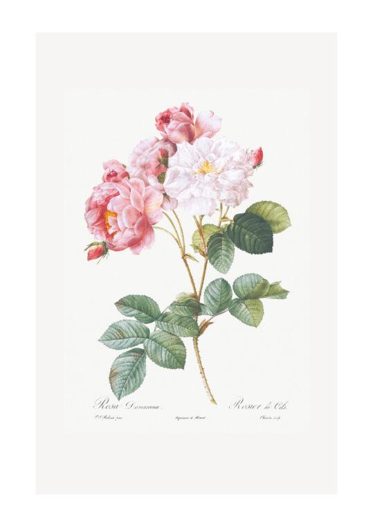 Poster Rosa Damascena - Botanisch Poster 1