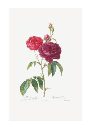 Poster Rosa Gallica - Botanisch Poster 1